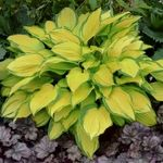 "Hosta ""Island Breeze"""