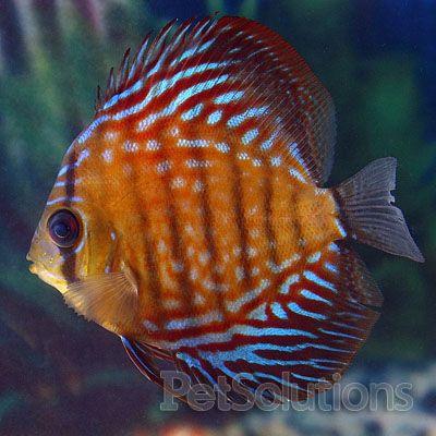 Red Scribbled Discus Discus Fish Discus Discus Fish For Sale
