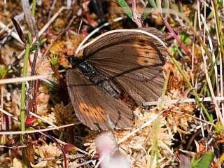 Kairanokiperhonen, Erebia disa - Perhoset - LuontoPortti