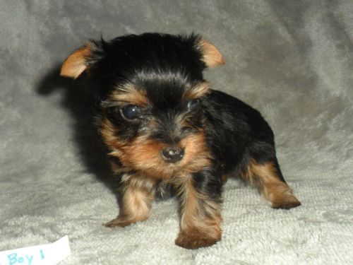 Aca Registered Teacup Male Yorkie Puppies Cute Puppies Yorkie Puppy Yorkie