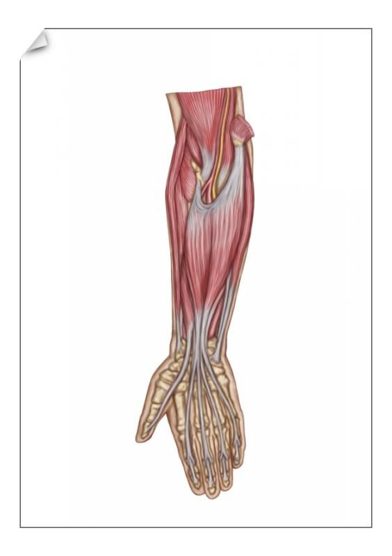 22+ A1 Poster. Anatomy of forearm muscles, anterior view, middle