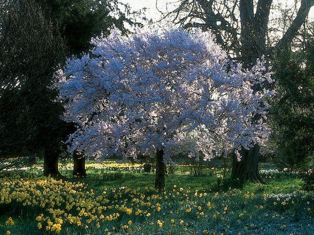 Yoshino Cherry Tree Fast Growing Trees Ornamental Cherry Growing Tree