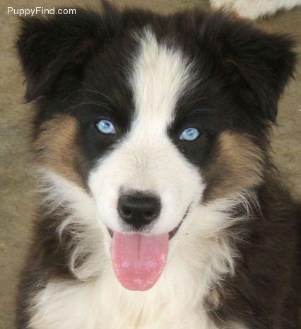 Blue Eyed Tri Just Beautiful My Next Aussie Australian Shepherd Australian Shepherd Blue Eyes American Shepherd