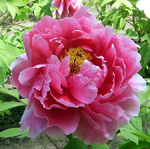 Tree Peonies: How To Grow Shade-Loving Tree Peonies With Huge Stunning Flowers – Gardening @ From House To Home