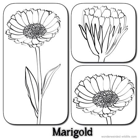 Marigold Flower Pictures Calendula Flower Pictures Our 100