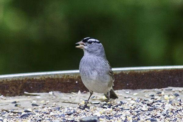 Indiana Backyard Birds | What bird is this? (Dengan gambar)