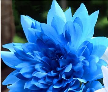 Visit To Buy Free Ship Promotion 10 Seeds Blue Dahlia Seeds Beautiful Gardens Dahlia Pinnata Bonsai Pl Flower Seeds Bonsai Plants Planting Flowers