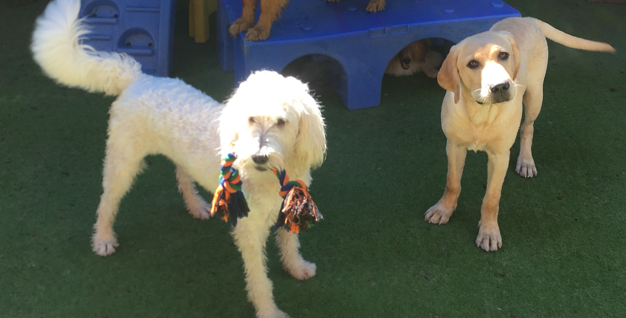 Gus Thinks It S Time For Piper To Share Doggames Myturn Doggiedaycare Lablove Doodle Dog Daycare