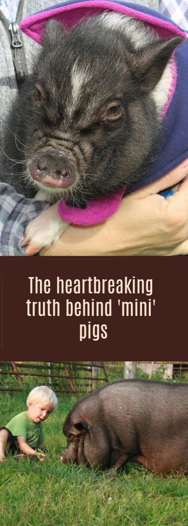 The Heartbreaking Truth Behind Mini Pigs Mini Pigs Pig Hooves Pet Pigs