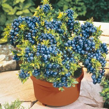 Growing Blueberries In Containers 10 Thing You Need To Know Grow Pots