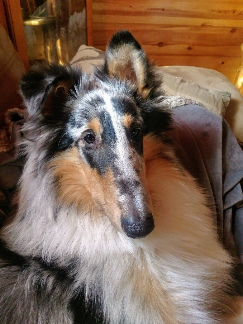 My Blue Merle Rough Collie Gunner Rough Collie Dogs Blue Merle