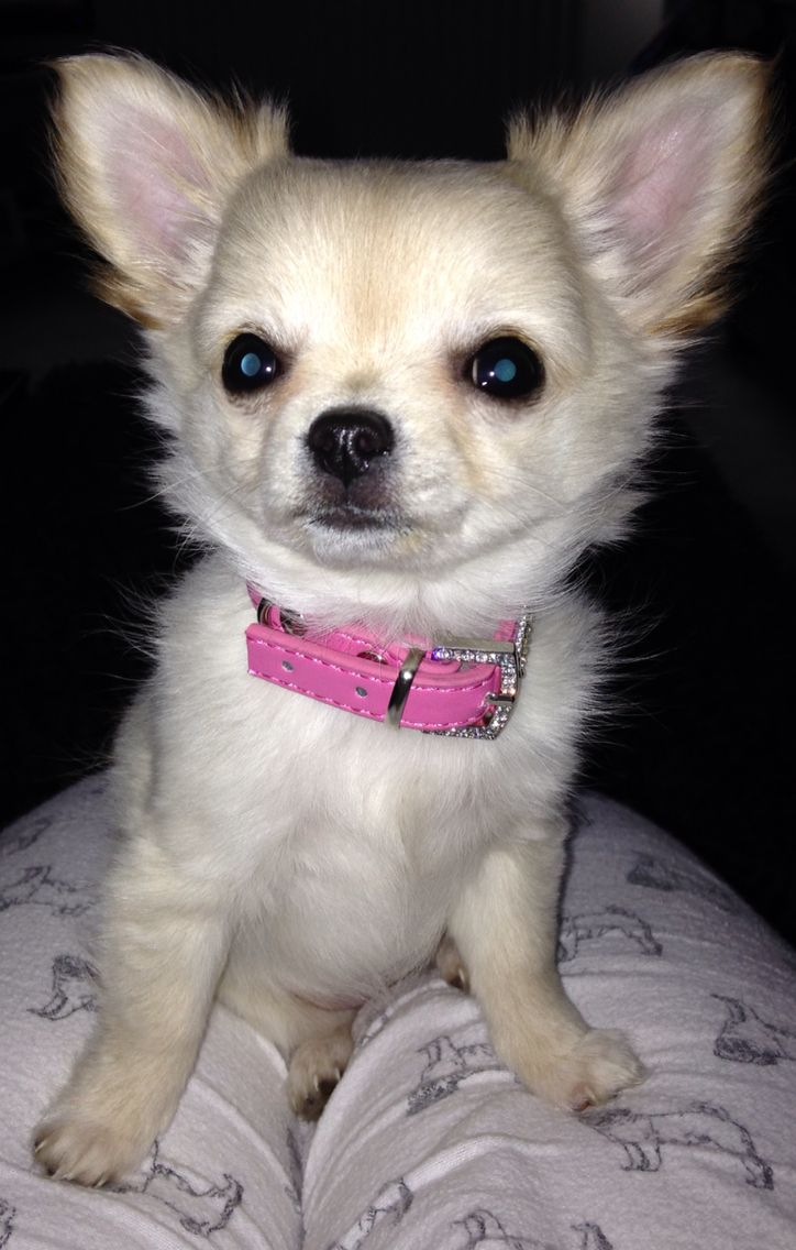 Cream Longhair Chihuahua Puppy 12 Weeks Old Teacup Chihuahua