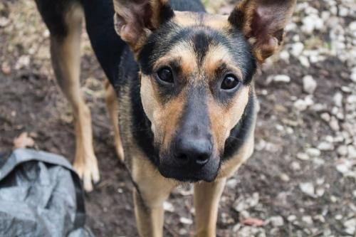 Adopt Roadie On Australian Cattle Dog Dogs Pets