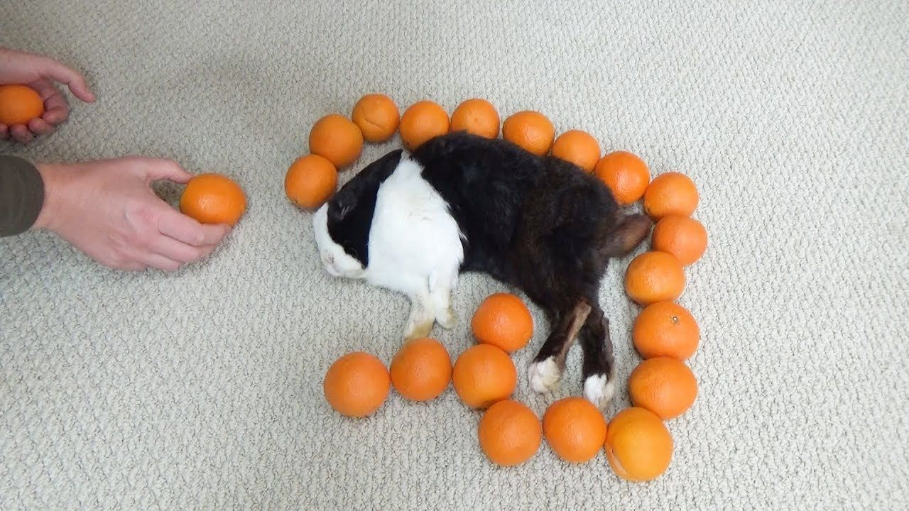 Waking A Sleeping Rabbit By Surrounding Him With Oranges - YouTube