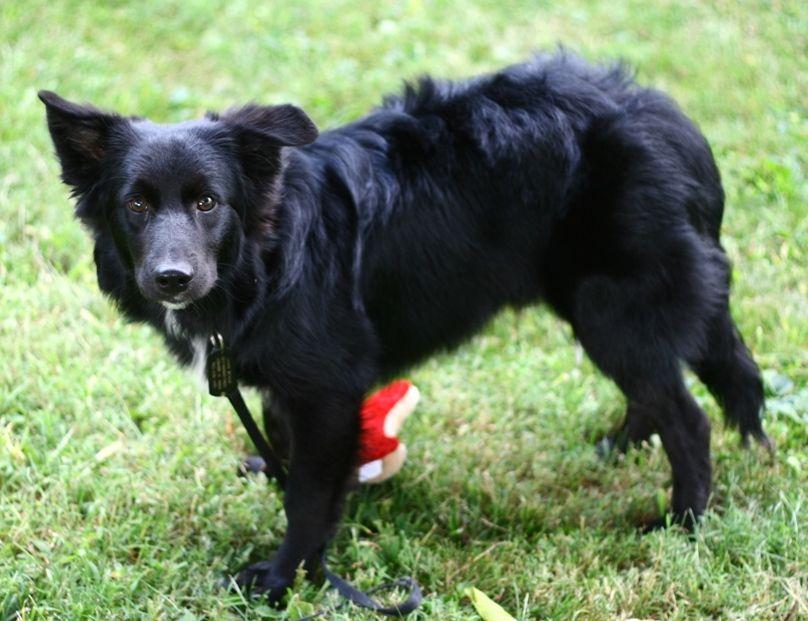 Pin By Felicity Dunkle On Border Collie Australian Shepherd Black Labs Dogs Black Australian Shepherd
