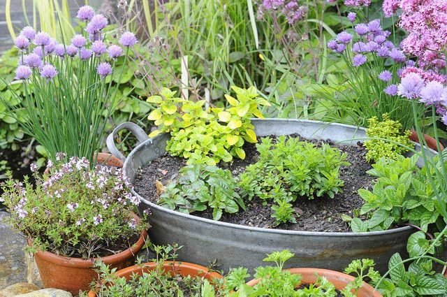 Discover 5 Herbs That Grow Well In Containers Vegetable 400 x 300