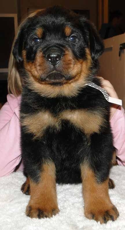 Rottweiler Dog Photo We Offer Rottweiler Puppies For Sale
