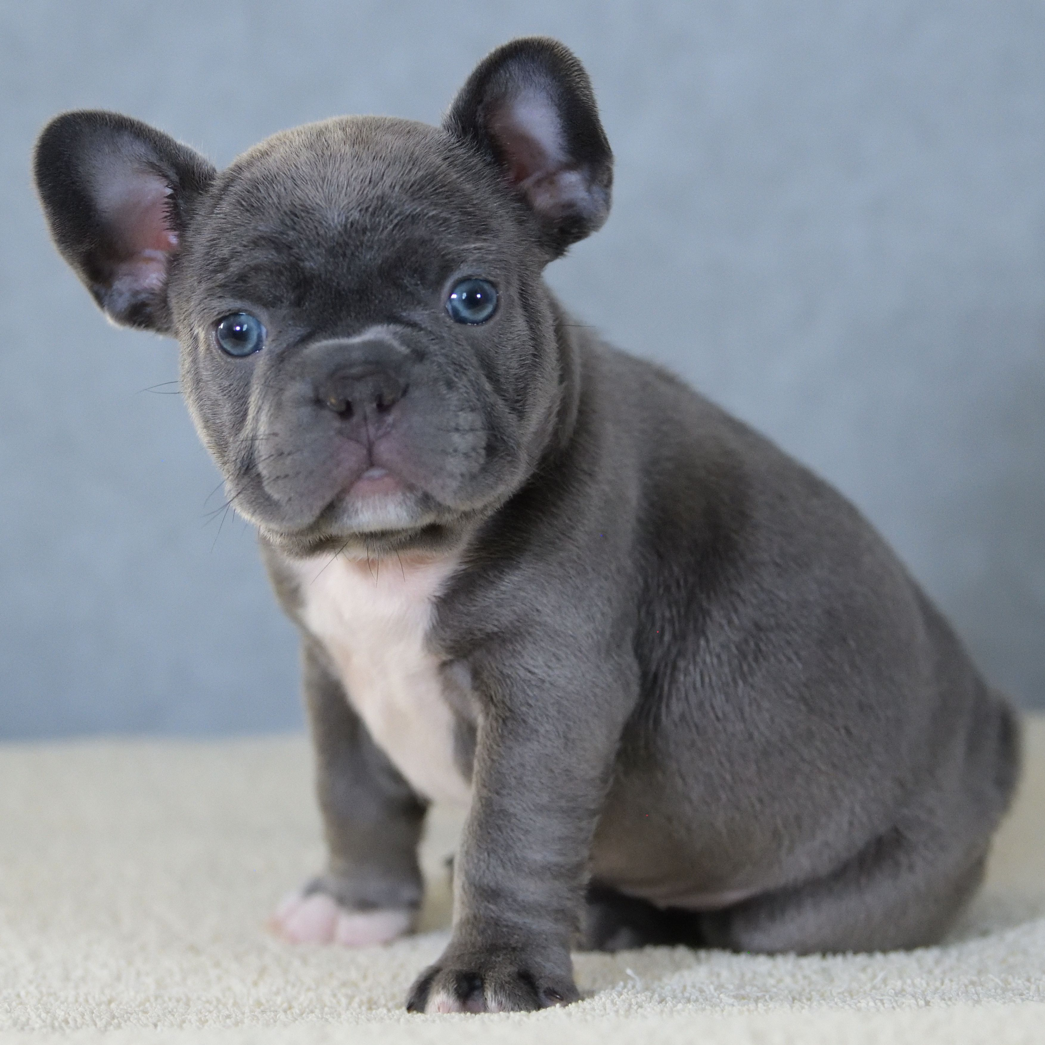 Pin By Lancaster Puppies On French Bulldog Puppies French