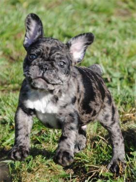 Toy French Bulldog Oregon – Wow Blog