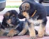 german shepherd dog - Norton Safe Search