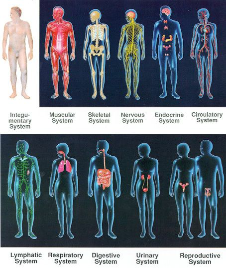 The 11 body systems (MURDERS LINC) | physiology | Pinterest | The ...