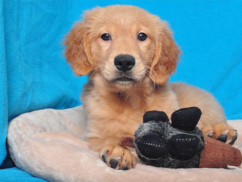 GOLDEN RETRIEVER male Puppies, Golden retriever, Happy puppy