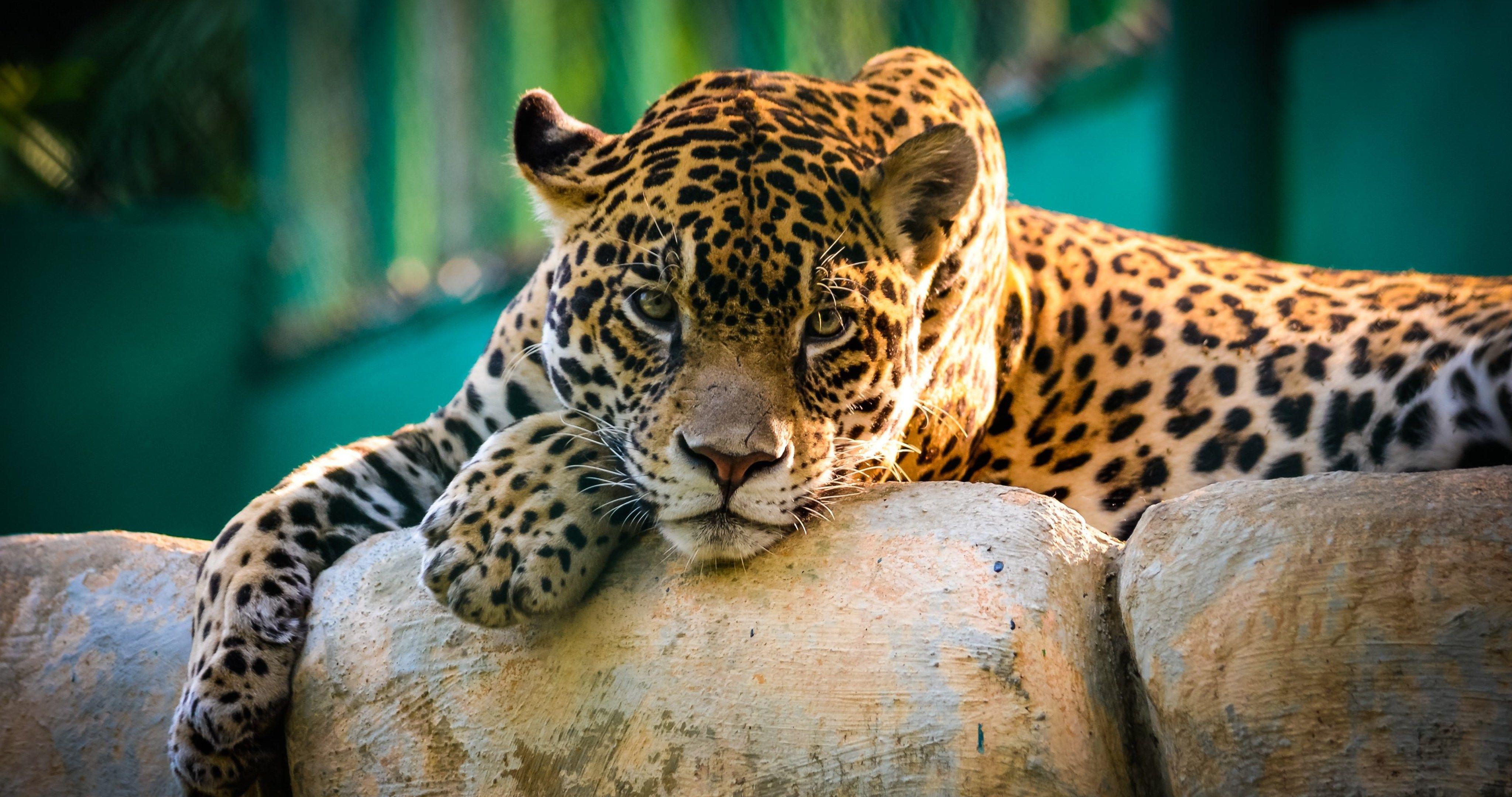 Hd wallpaper jaguar - Amazing Jaguar Wild Cat 4k Ultra Hd Wallpaper