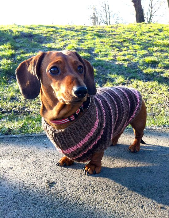 Bronte Sausage Dog In Her Bespoke Knitted Jumper Http Www