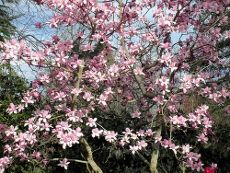 Magnolia Planting How To Care For A Magnolia Tree Shrubs And