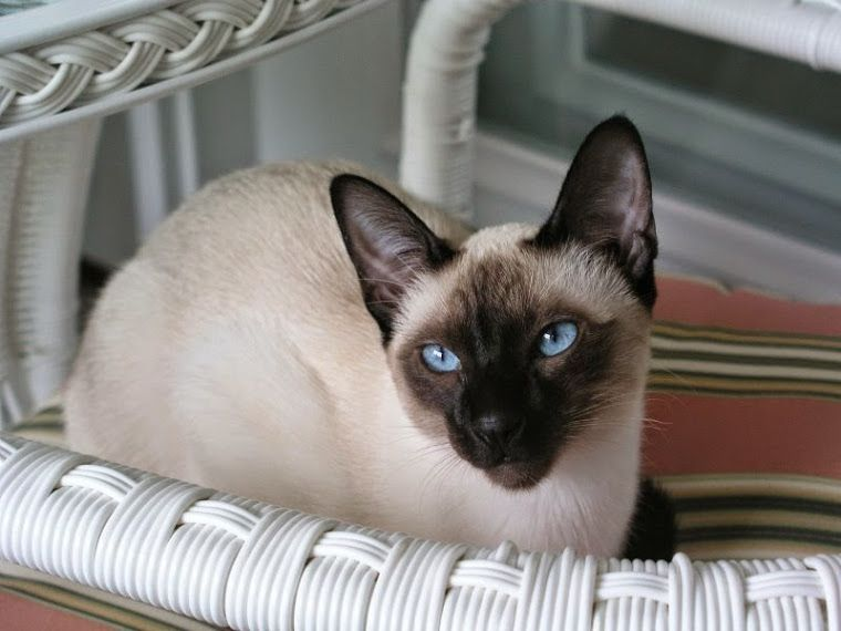 Carolina Blues Cattery Siamese Kittens For Sale Siamese Kittens