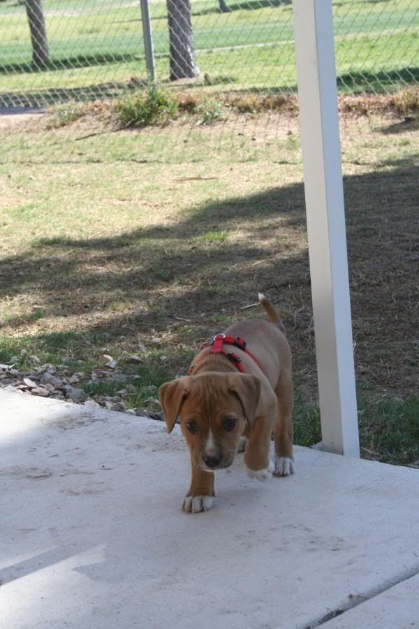 Red Nose Pitbull Cross Bullmastiff
