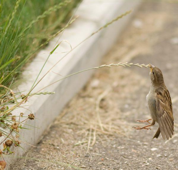 Comer como un pajarito  Una sorprendente imagen de un gorrión común (Passer domesticus) comiéndose una semilla mientras está suspendido en el aire.  Este tipo de imágenes son posibles por el pequeño peso de estos animales, unos 30 gramos, y los sacos aéreos propios de la morfología de la mayoría de las aves con capacidad de vuelo.