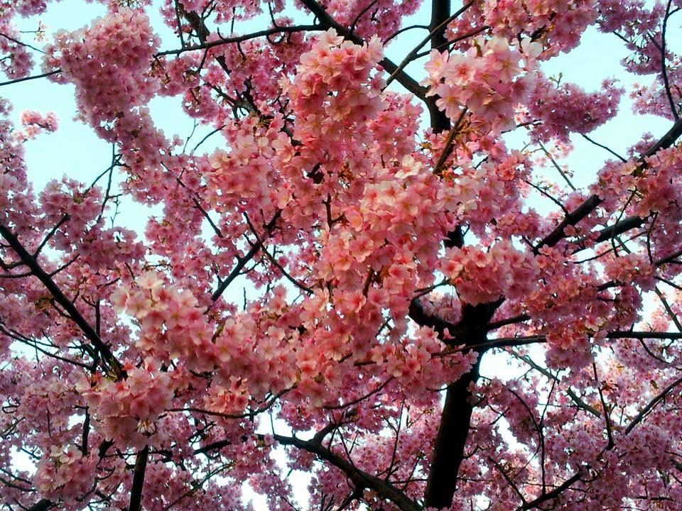 Cherry Blossom Sakura Trees Scenery Beautiful Landscapes Landscape