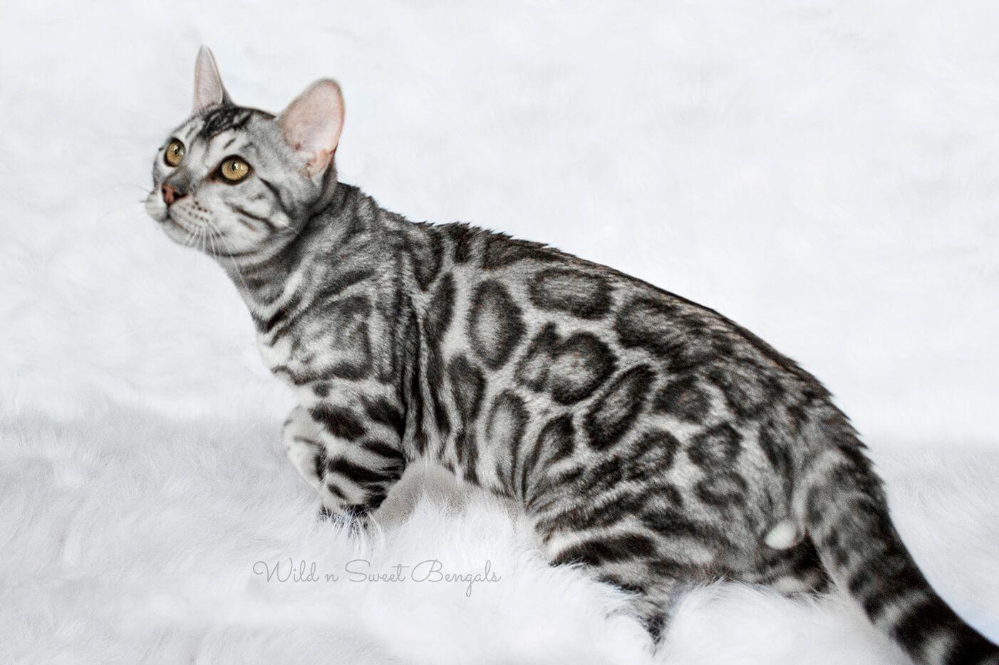 Bengal Kittens & Cats for Sale Near Me Bengal kitten