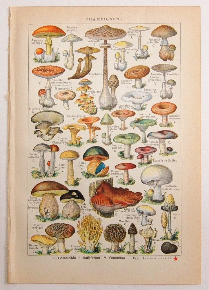 Antique French Dictionary Page Mushrooms Botanical Illustration
