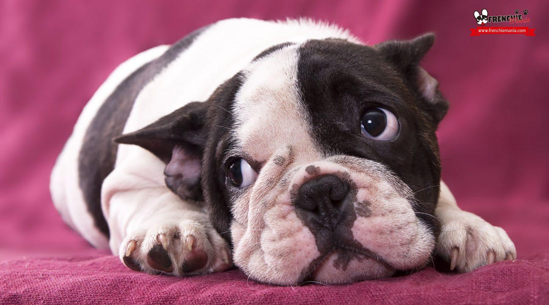 8 lecciones sobre amor y amistad que te puede dar tu bulldog francés