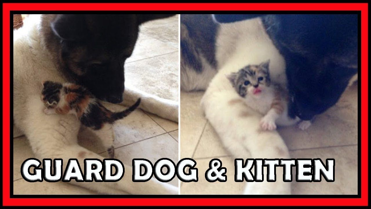 This Senior Guard Dog Retired Only To Become Mommy To A Kitten Guard Dogs Kitten Dogs