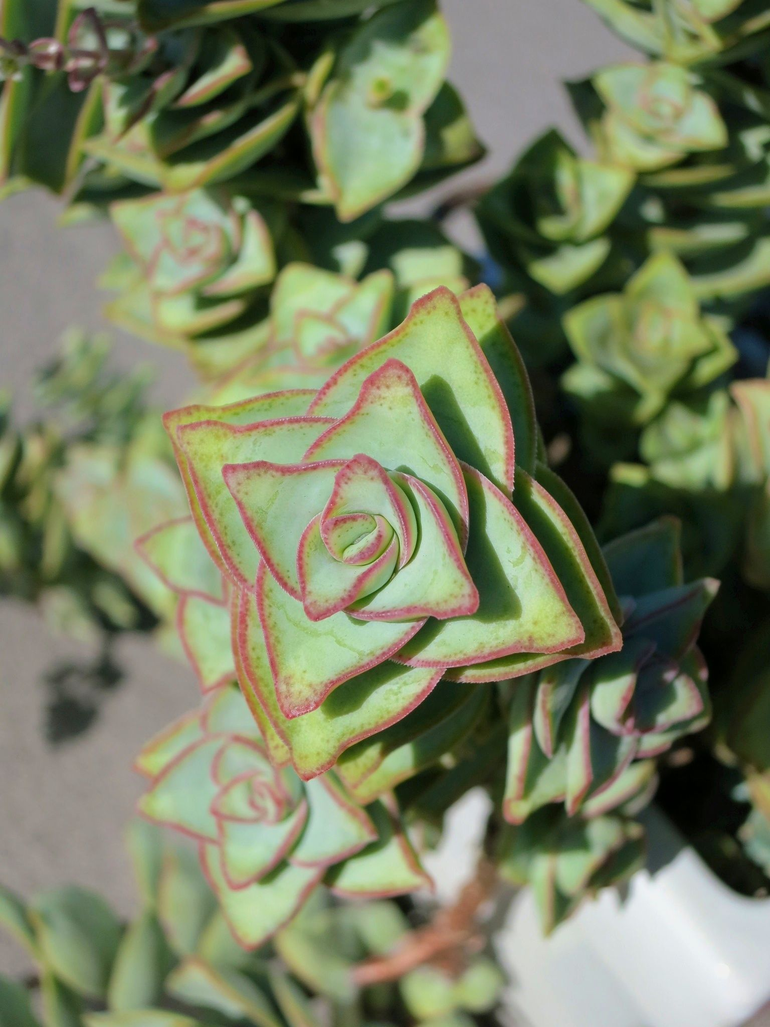 Crassula Wikipedia, the free encyclopedia Baby