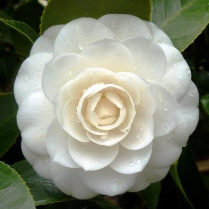 Camellia Japonica Perfection White Camellia 12l Bush Cvety Kustarniki Kameliya