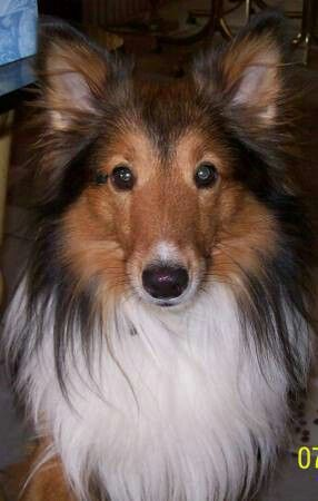 Http Houston Craigslist Org Laf 4249339173 Html Finding Nemo Pearland Tx Still Missing Our Sheltie Nemo Is A 20 Lb 5 Sheltie Losing A Dog Losing A Pet