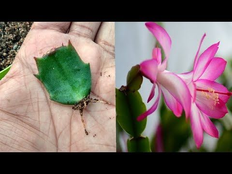 YouTube Christmas Cactus Pinterest Christmas cactus and Cacti