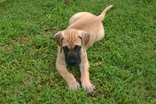 Litter Of 4 Great Dane Puppies For Sale In Mcloud Ok Adn 35440