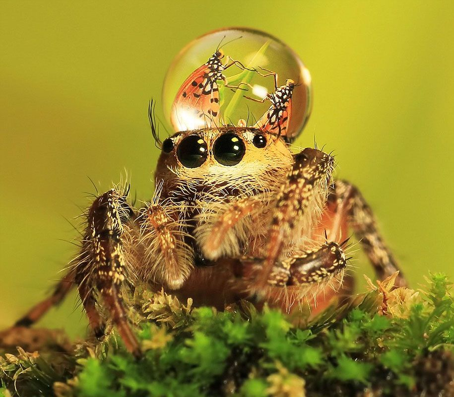 Sometimes Jumping Spiders Wear Water Droplets As Hats