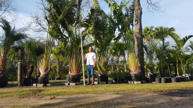 Me and my Traveller's Palm Trees that I just bought.