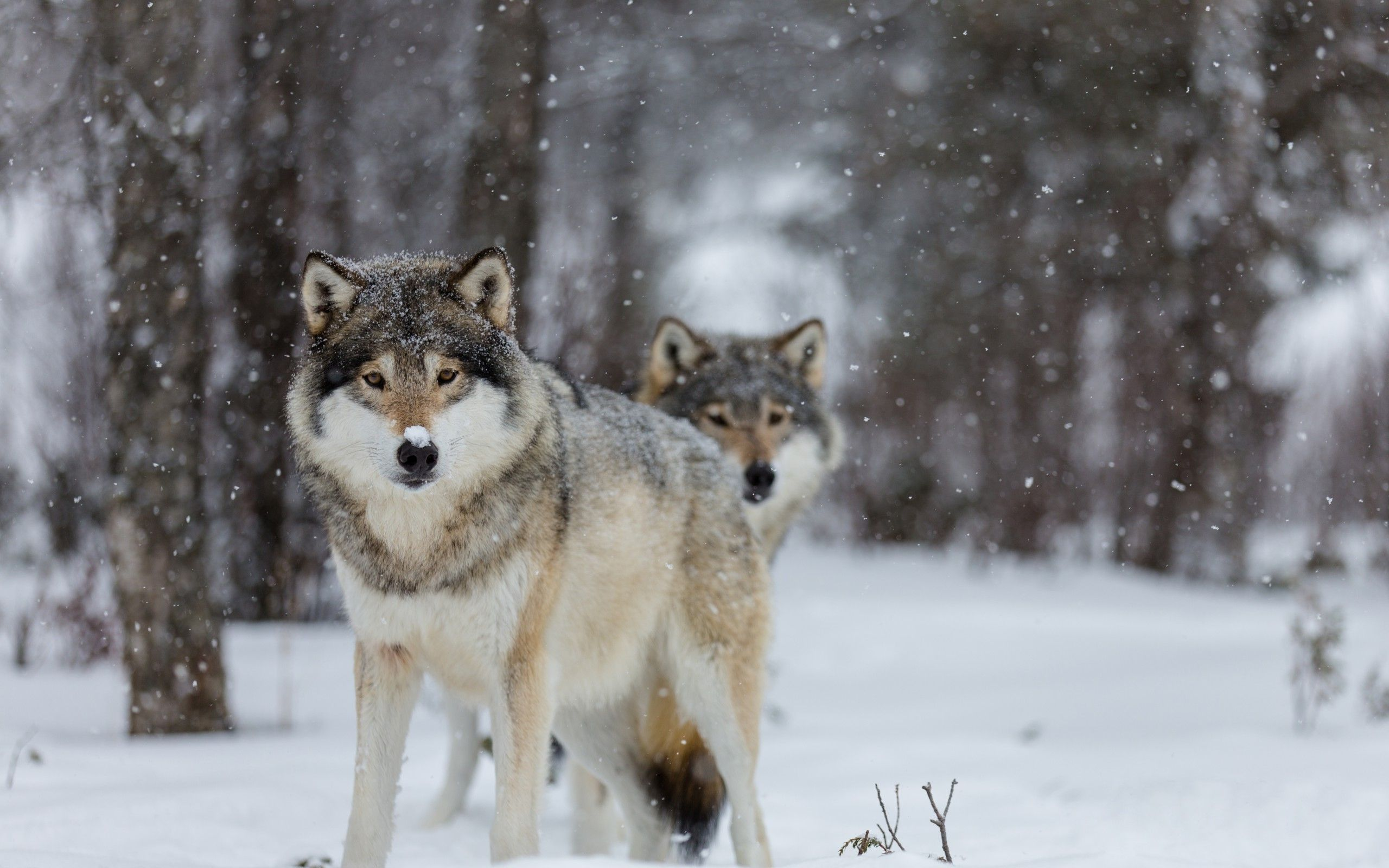 Wolves wallpaper Chainimage Wallpapers Pinterest