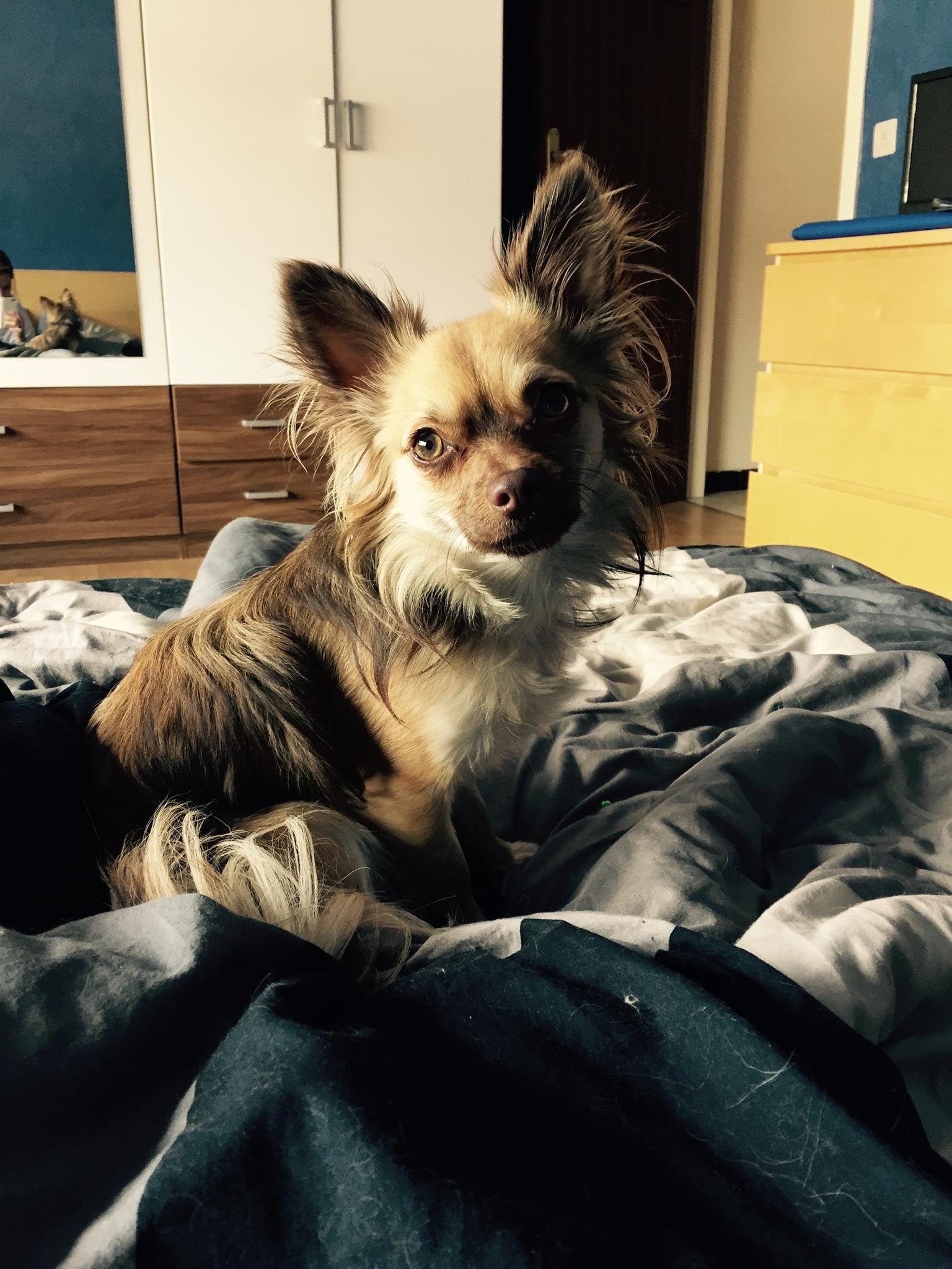 Cookie Chihuahua | Pawshake