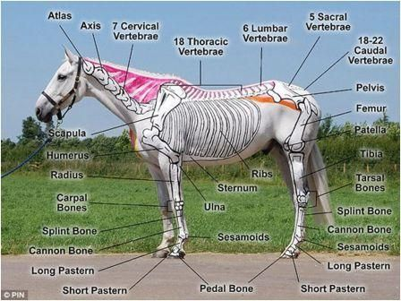 horse anatomy skeleton structure painted on a real horse | Gaited ...