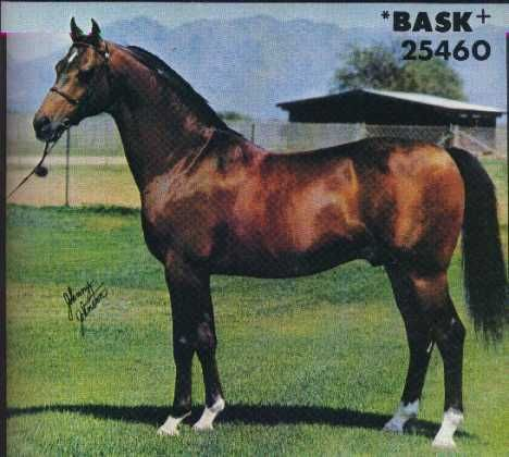Image result for arabian horse bask