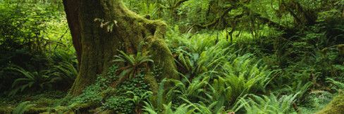 Ferns and Vines, Hoh Rainforest, Olympic National Forest, Washington State, USA Wall Decal by Panoramic Images at AllPosters.com