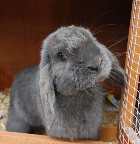 Adam 3 Year Old Male Grey Lop Rabbits For Adoption Cute Baby Bunnies Small Pets Rabbit Adoption